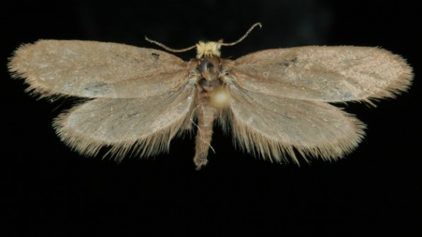 Lampronia fuscatella