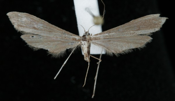 Agdistis adactyla