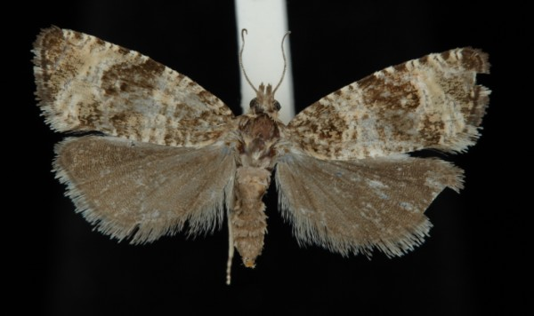 Celypha rurestrana