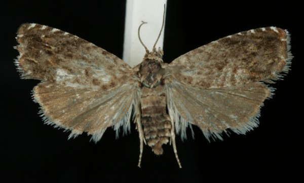 Pammene albuginana