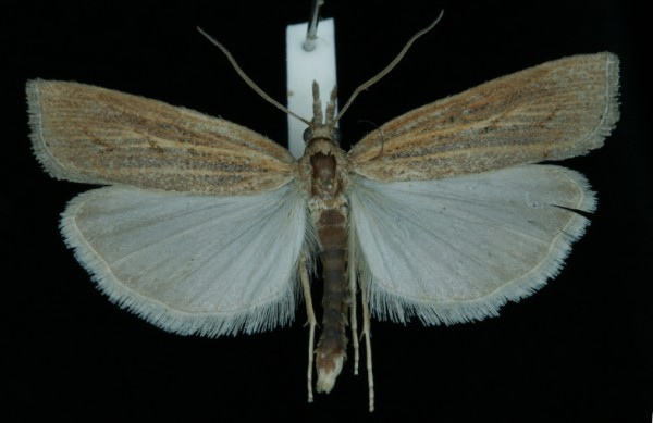 Pediasia contaminella